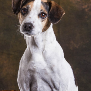 Christina Stead's Jack Russell